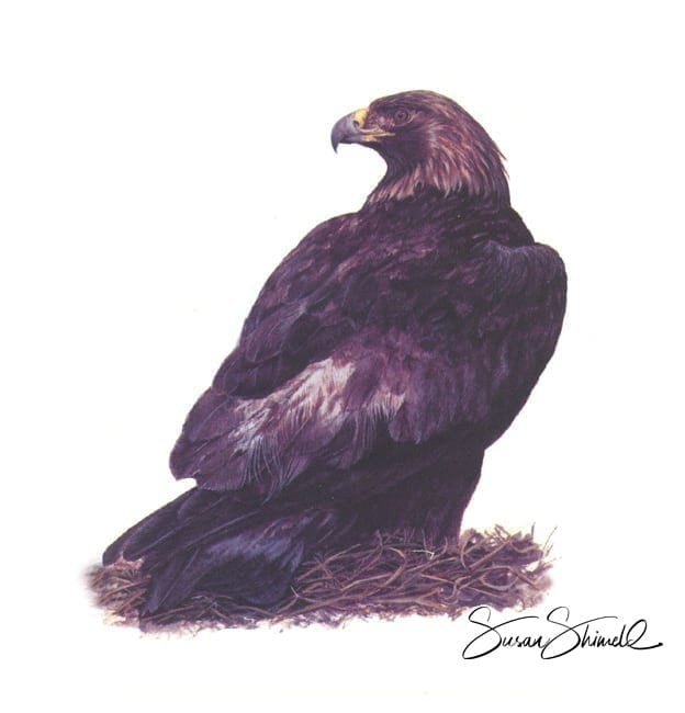 "<span class=""show_in_gallery"">Golden Eagle</span><span class=""show_in_popup""><a href=""https://www.natureinart.com/shop/original/golden-eagle-original-art/"" class=""pop-color1"">More info...</a></span>"