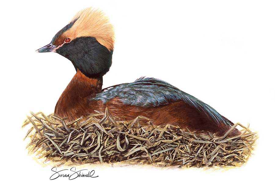 "<span class=""show_in_gallery"">Slavonian Grebe</span><span class=""show_in_popup""><a href=""https://www.natureinart.com/shop/original/slavonian-grebe-original-art/"" class=""pop-color1"">More info...</a></span>"