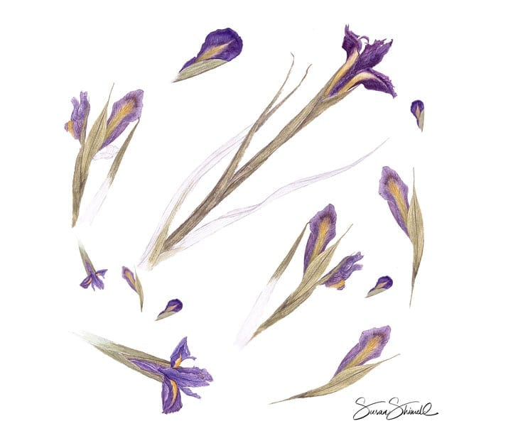 "<span class=""show_in_gallery"">Iris Study</span><span class=""show_in_popup""><a href=""https://www.natureinart.com/shop/original/iris-study-original-art/"" class=""pop-color1"">More info...</a></span>"