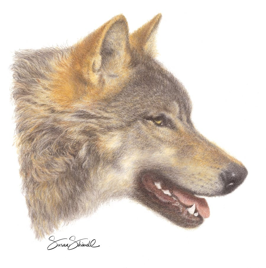 "<span class=""show_in_gallery"">Wolf Portrait </span><span class=""show_in_popup""><a href=""https://www.natureinart.com/shop/original/wolf-portrait-original-art/"" class=""pop-color1"">More info...</a></span>"