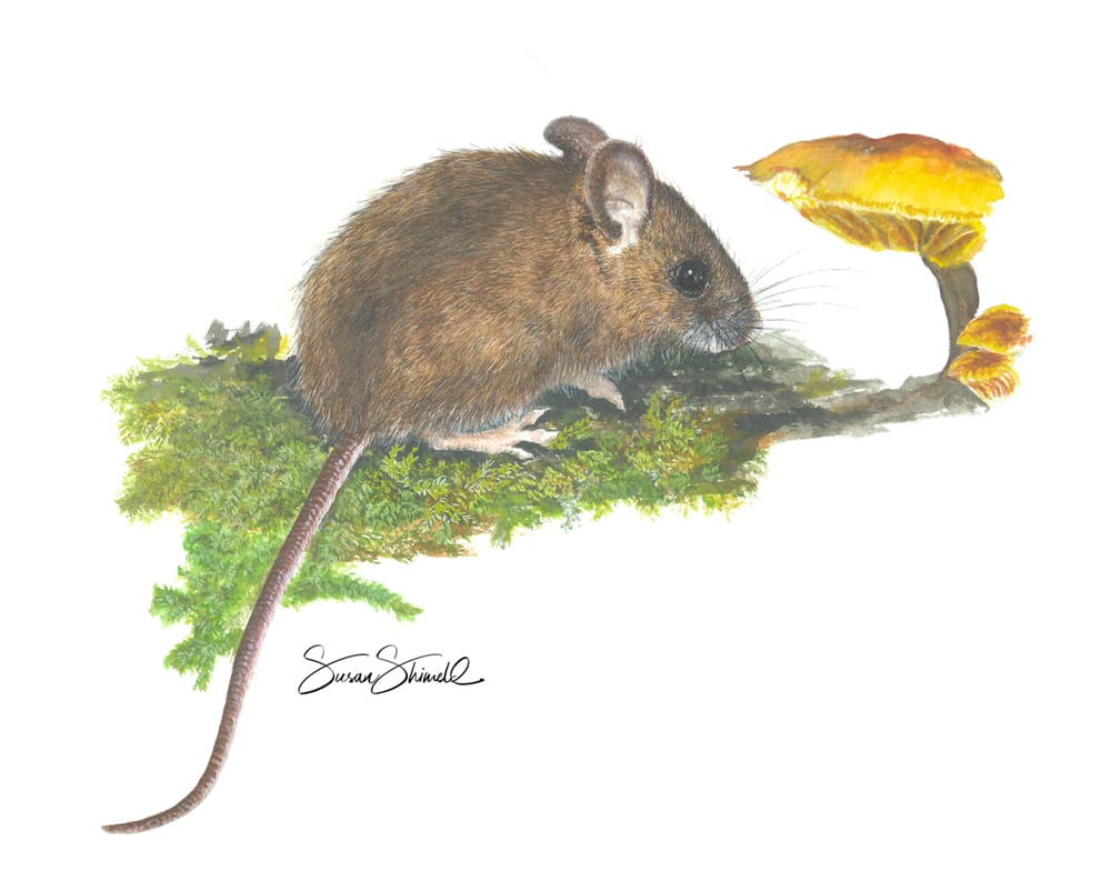 "<span class=""show_in_gallery"">Wood mouse and Toadstool</span><span class=""show_in_popup""><a href=""https://www.natureinart.com/shop/original/wood-mouse-and-toadstool/"" class=""pop-color1"">More info...</a></span>"