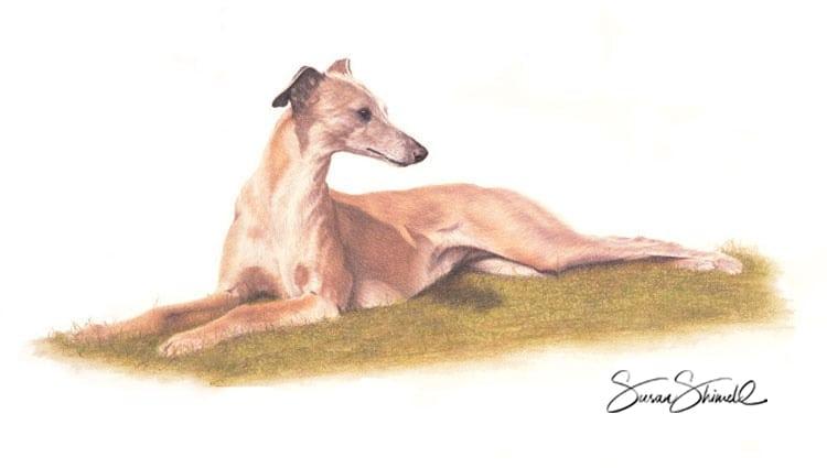 Bespoke pet portrait of a greyhound lying down.