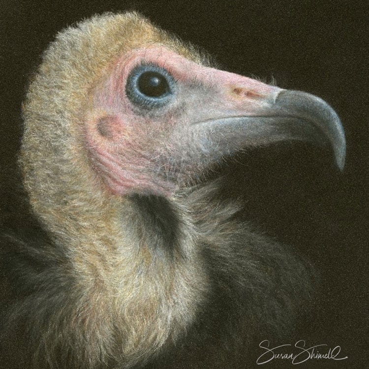 "<span class=""show_in_gallery"">Hooded Vulture</span><span class=""show_in_popup""><a href=""https://www.natureinart.com/shop/fine-art/hooded-vulture-copy/"" class=""pop-color1"">More info...</a></span>"