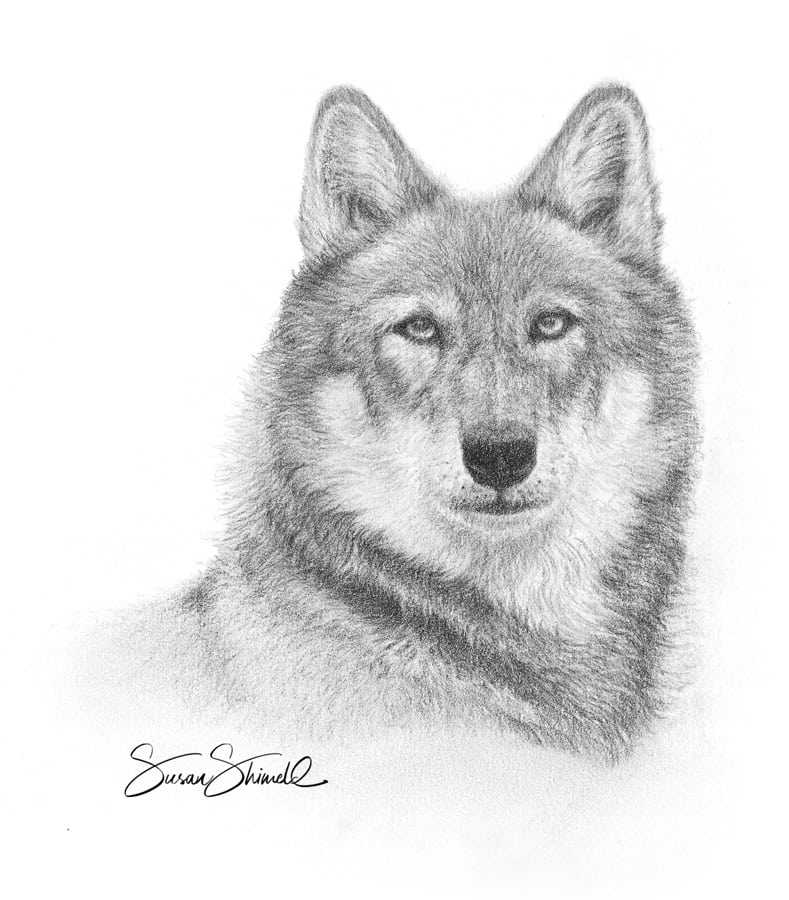 Wolf Study Art print