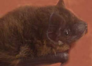 Rescued Pipistrelle bat cared for by Susan Shimeld
