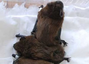 Three rescued Pipistrelle pups waiting to be weighed. Cared for by Susan Shimeld