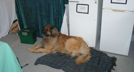 Tehya Su's Leonberger resting at the Wolf Book launch UKWCT