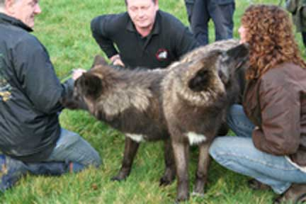 Su receives a wolf kiss from Mosi. UK Wolf Conservation Trust