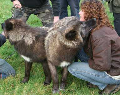 Mosi, a wolf rests her head on Su's shoulder. UK Wolf Conservation Trust