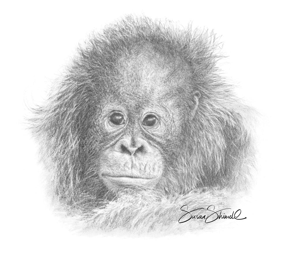 Baby Orangutan Portrait. Graphite Pencil Drawing