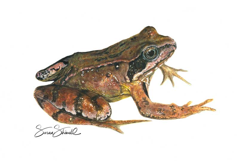 "<span class=""show_in_gallery"">Common Frog</span><span class=""show_in_popup""><a href=""https://www.natureinart.com/shop/original/frog-study/"" class=""pop-color1"">More info...</a></span>"