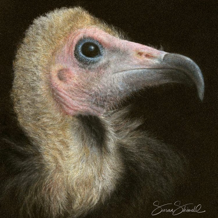 "<span class=""show_in_gallery"">Hooded Vulture </span><span class=""show_in_popup""><a href=""https://www.natureinart.com/shop/original/hooded-vulture-2/"" class=""pop-color1"">More info...</a></span>"