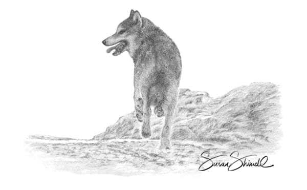 "<span class=""show_in_gallery"">Lone Wolf</span><span class=""show_in_popup""><a href=""https://www.natureinart.com/shop/original/lone-wolf-card/"" class=""pop-color1"">More info...</a></span>"