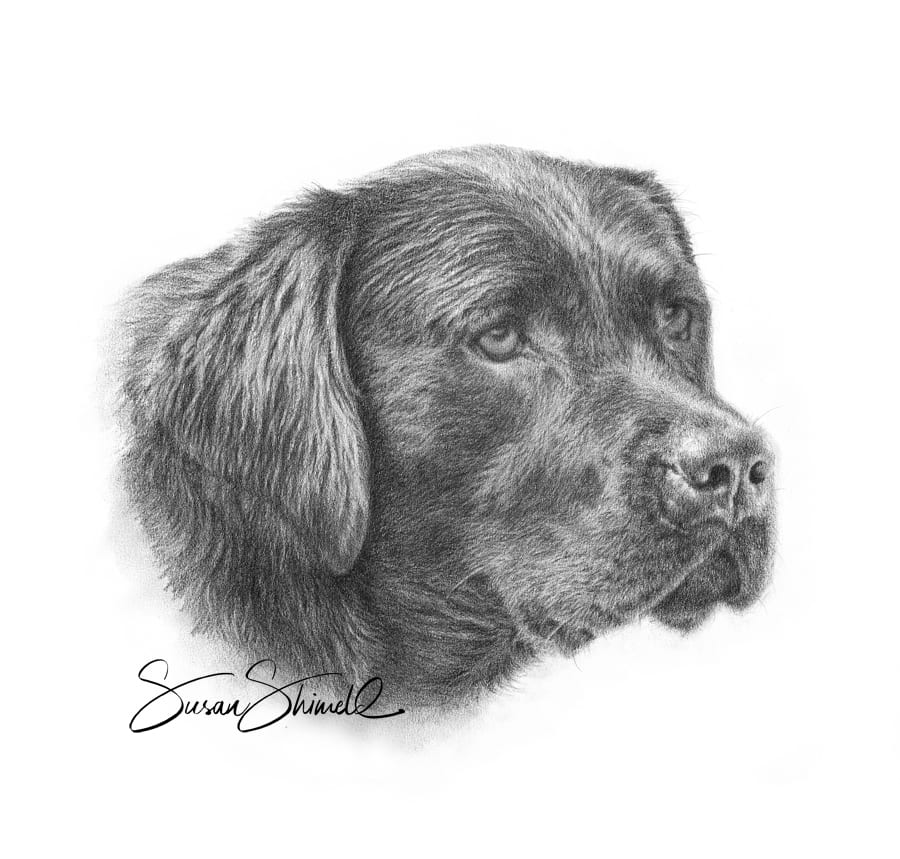 "<span class=""show_in_gallery"">Black Labrador</span><span class=""show_in_popup""><a href=""https://www.natureinart.com/shop/fine-art/black-labrador/"" class=""pop-color1"">More info...</a></span>"