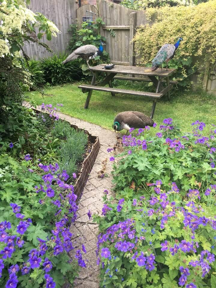 Larmer Tree Studio Garden, peacocks and flowers