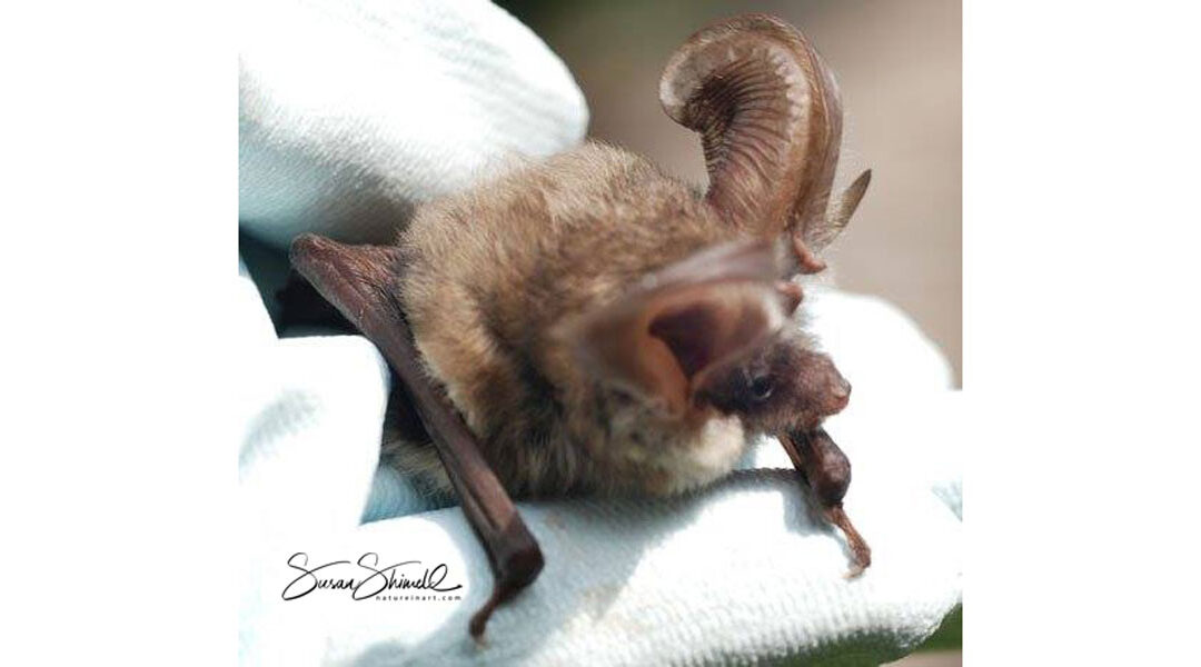Brown Long-Eared Bat Survey