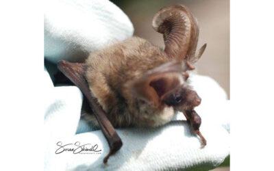 Brown Long-Eared Bat Survey